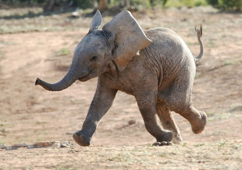 baby-elephant-running-playing