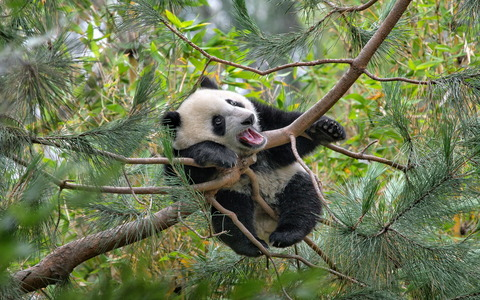 panda-playing-tree-animal-china-1680x1050