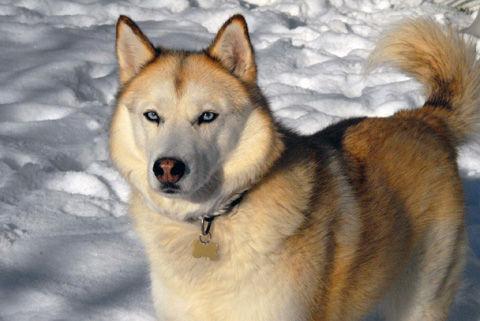 Siberian_Husky_sable