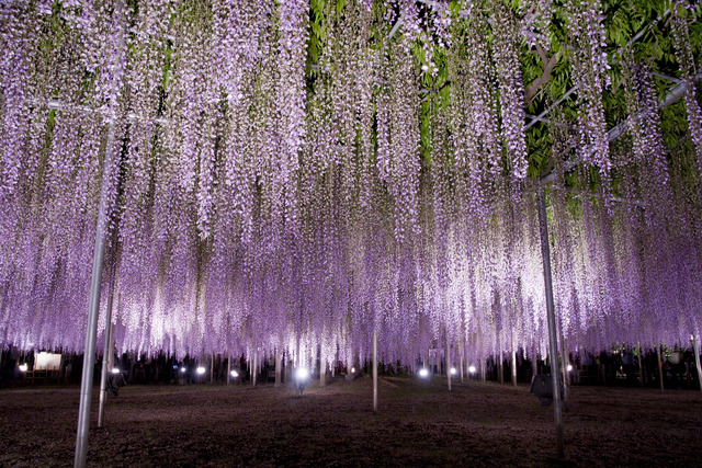 Ashikaga_Flower_Park_03