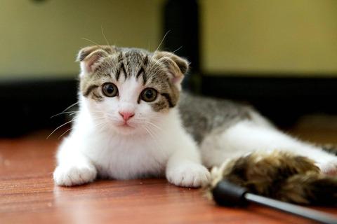 Animals___Cats_Small_Scottish_Fold_cat_on_the_floor_045678_