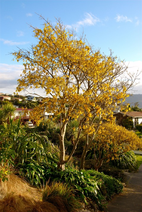 kowhai_in_full_bloom_at_papakowhai_school