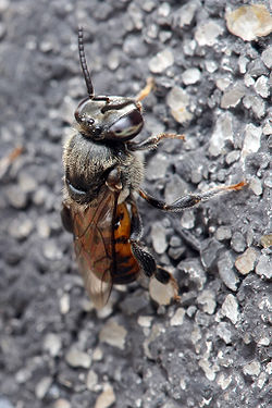 250px-Meliponula_ferruginea