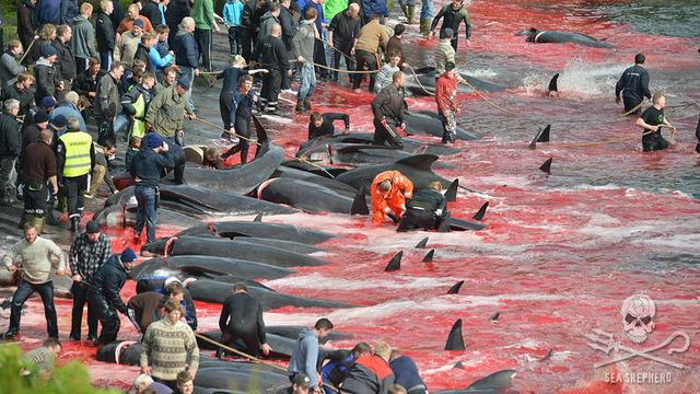 whale slaughter faroe 16x9