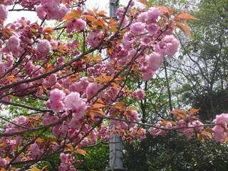 八重桜満開!!