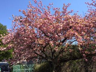 八重桜満開!