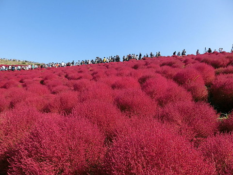 Miharashi_no_Oka_(Hitachi_Seaside_Park)_01
