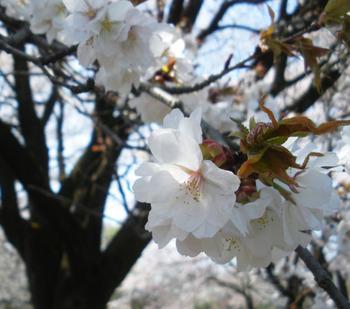 usugeyamazakura-(6)