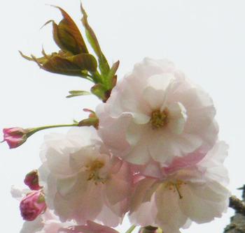 ichiyo-(10)