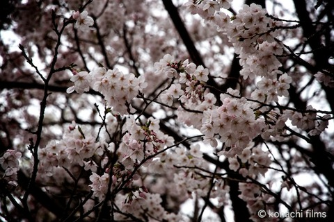 篠島_桜_2011-04-08 13-49-01