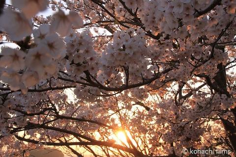 桜_北山公園_2011-04-12 17-58-48