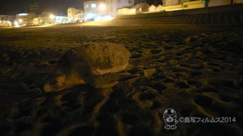 篠島ウミガメ産卵 (1)