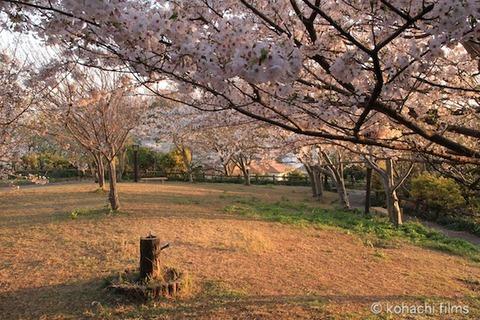 桜_北山公園_2011-04-12 17-46-58