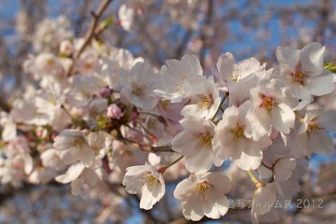 桜_北山公園_2012-04-12 16-58-22