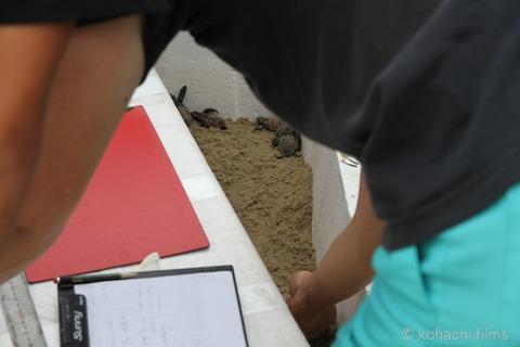 ウミガメ産卵_篠島_写真_前浜_保護_2011-08-31 16-55-08
