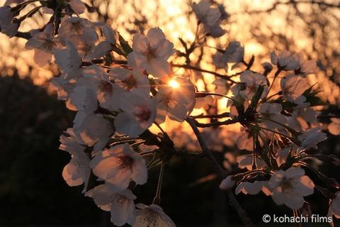 桜_北山公園_2011-04-12 18-01-49