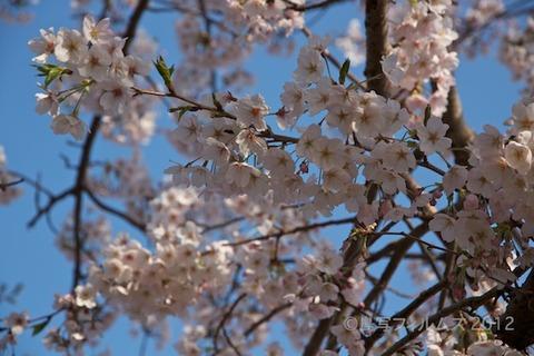 桜_北山公園_2012-04-12 16-37-17