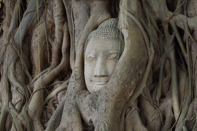 木に抱きかかえられた仏像の頭部