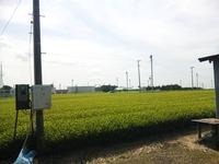 金谷の茶畑