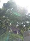 益田家のモチの木