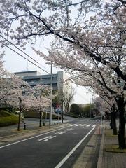 正門前の桜並木