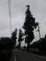 原市の杉並木