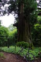 矢立の杉1