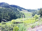 菊川の茶畑