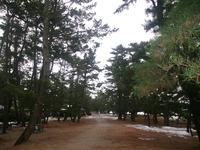 天橋立の松林