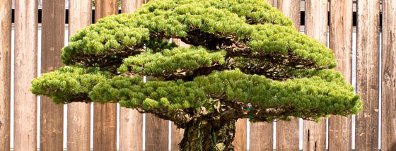 広島の原爆でも生き残ったラピュタのような盆栽