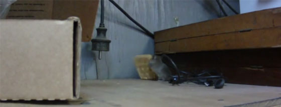 大きいクラッカーを一生懸命ジャンプして持って行こうというネズミ