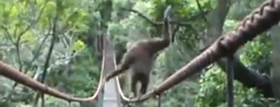 吊り橋のロープをバランスよく歩く猿