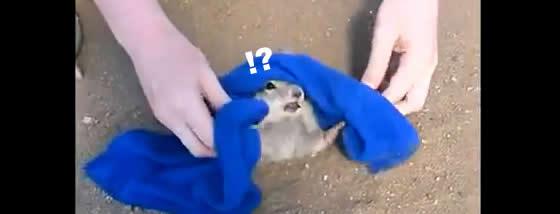 ホリネズミを救出する