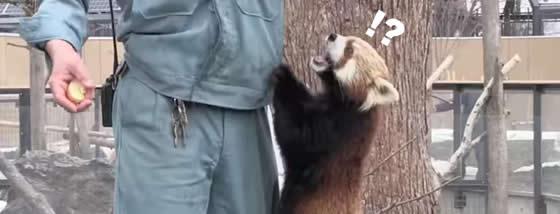 飼育員さんに飛びついてしがみつくレッサーパンダ