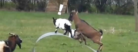 ふにゃふにゃする金属板で遊ぶヤギたち