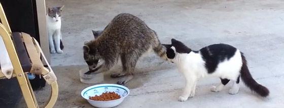 キャットフードを食べに来たアライグマ