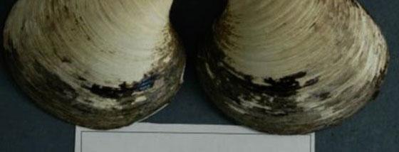 世界最古の507歳の貝が調査中に殺されちゃった1