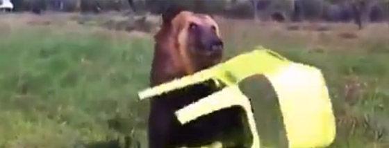クマにとんでもない芸を仕込む実にオソロシア