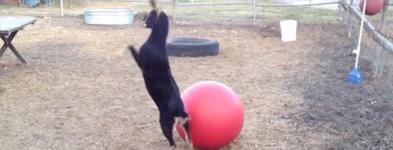 気が狂ったかのようにヨガボールで遊ぶヤギ