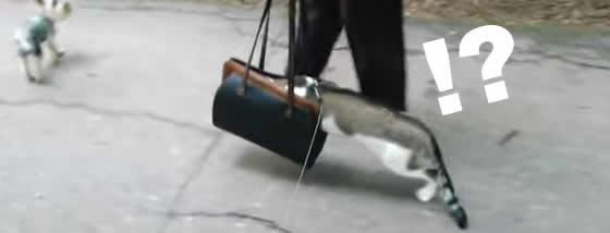 初めてのお散歩で怖くなってバッグへ逃げ込もうとする猫