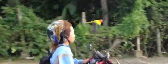 バイクと並走するオウム