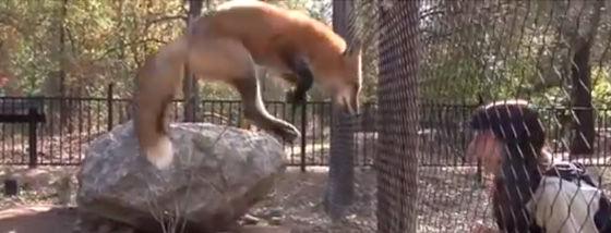 狐が見せるジャンプの舞
