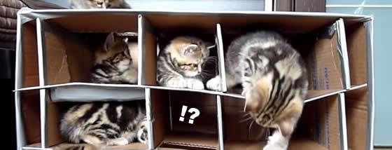 ダンボール製の砦が迷路のようで猫ちゃん狂喜乱舞