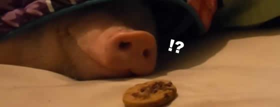 眠れる豚の前にクッキーを置いてみた