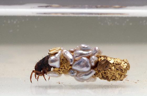 金色に輝くトビケラの幼虫4