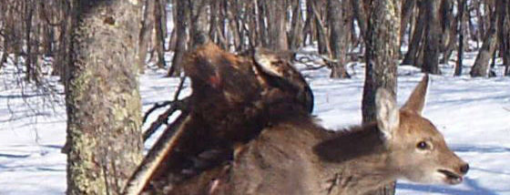 イヌワシが仔鹿を襲うオソロシス