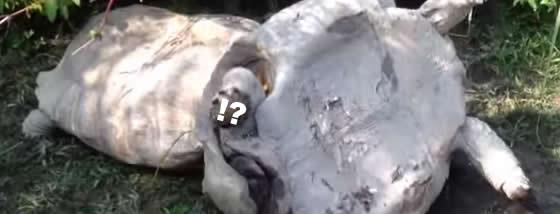 引っくり返った亀を仲間の亀は助けるのか