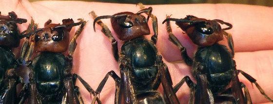 中国のオオスズメバチ