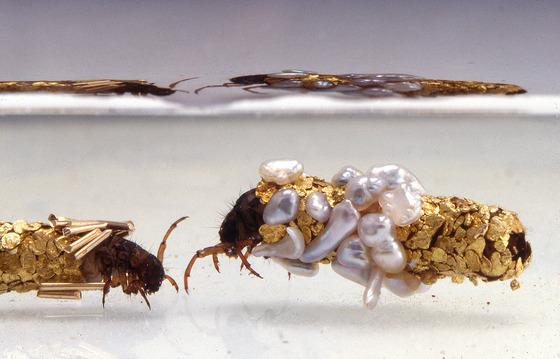金色に輝くトビケラの幼虫3