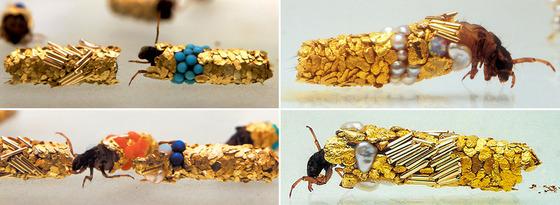 金色に輝くトビケラの幼虫12